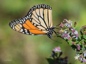 Monarch Butterfly (Male)