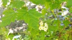 Pacific Ninebark (Physocarpus capitatus)