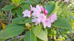Pacific Rhododendron (Rhododendron macrophyllum)