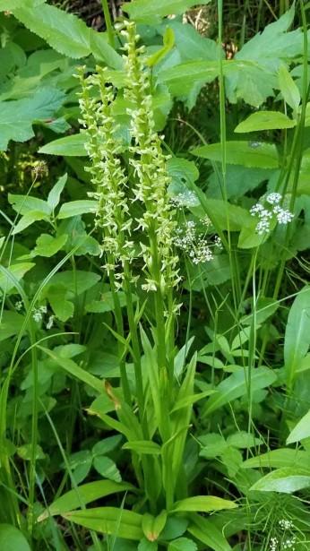 White Bog Orchid (Platanthera dilatata)