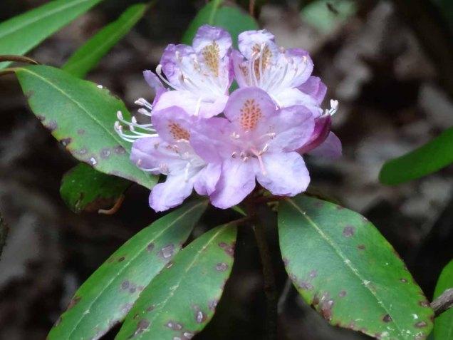 Piedmont Rhododendron (Rhododendron minus)