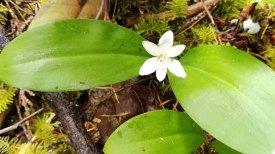 Queen-Cup (Clintonia uniflora)