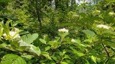 Red-osier Dogwood (Cornus sericea)