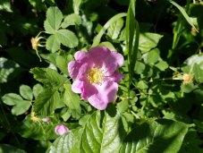 Wild or Woods Rose (Rosa woodsii)