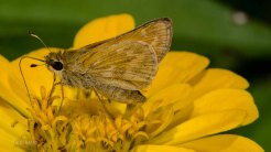Sachem Butterfly (Female)