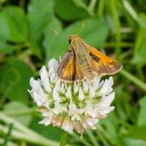 Sachem Butterfly (Male)