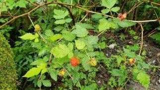 Salmonberry (Rubus spectabilis)