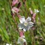 White or Evening Campion (Silene latifolia*)