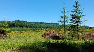 Scotch Broom (Cytisus scoparius*)