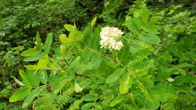 Sitka Mountain-Ash (Sorbus sitchensis)