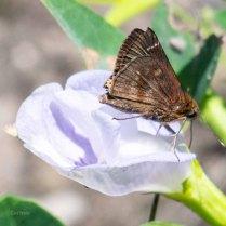 Clouded Skipper Butterfly