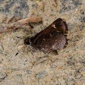 Common Roadside-Skipper Butterfly