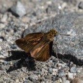 Dun Skipper Butterfly