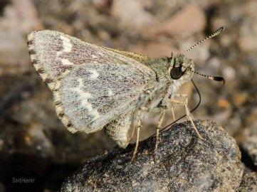 Pepper and Salt Skipper Butterfly
