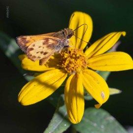 Zabulon Skipper Butterfly (Male)