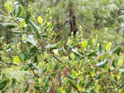 Snowbrush (Ceanothus velutinus)