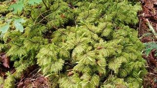 Splendid Feather Moss (Hylocomium splendens)