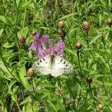 Spotted Knapweed (Centaurea stoebe*)