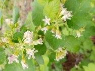 Sticky Currant (Ribes viscosissimum)