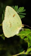 Cloudless Sulphur Butterfly (Female)