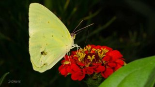 Cloudless Sulphur Butterfly (Male)
