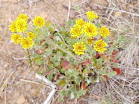 Sulphur Buckwheat (Eriogonum umbellatum var. polyanthum)