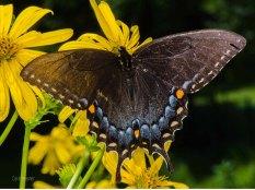 Eastern Tiger Swallowtail Butterfly (Dark Form)