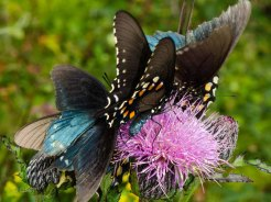 Pipevine Swallowtail Butterflies