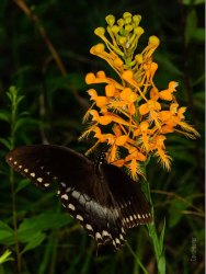 Spicebush Swallowtail Butterfly on Yellow Fringed Orchid Flower