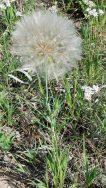 Yellow Salsify (Tragopogon dubius*) Seed Pod