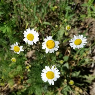 Scentless False Mayweed (Tripleurospermum inodorum*)