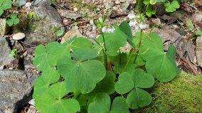 Trillium-Leaved Sorrel (Oxalis trilliifolia)