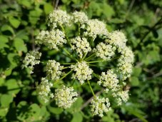 Porter's Lovage (Ligusticum porteri) Bloom