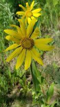 Mulesear Wyethia (Wyethia amplexicaulis)