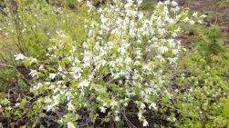 Western Serviceberry (Amelanchier alnifolia)
