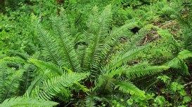 Western Sword Fern (Polystichum munitum)