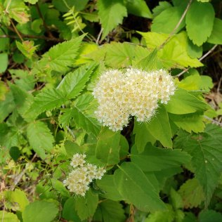 White Spiraea (Spiraea betulifolia var. lucida)