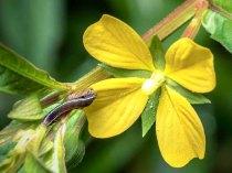 a Water-primrose (Ludwigia sp.)