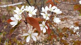 a Serviceberry (Amelanchier sp.)