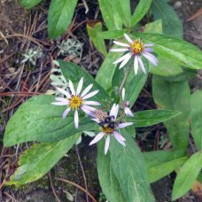 an Aster and Friend
