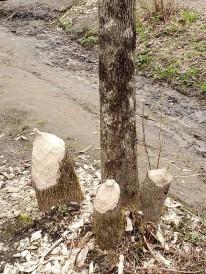 Beaver activity!