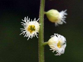 Miterwort; Bishop's Cap (Mitella diphylla)