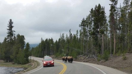 Bison on the Wrong Side of the Road!