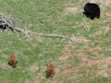 Black Bears near Roosevelt Lodge