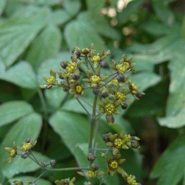 Blue Cohosh (Caulophyllum thalictroides) Blooms
