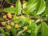 Buttonbush (Cephalanthus occidentlis)