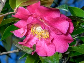 Camellia Japonica 'CHARLEAN'