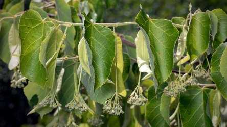 Carolina Basswood (Tilia caroliniana)