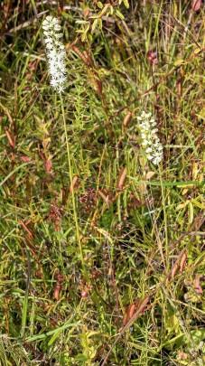 Carolina Bog-asphodel (Tofieldia glabra)