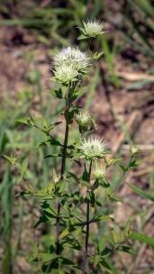 Clustered Bushmint (Hyptis alata)